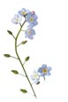 Thumbnail image of Forget Me Not flowers